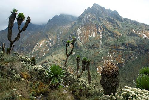 rwenzori vegetation